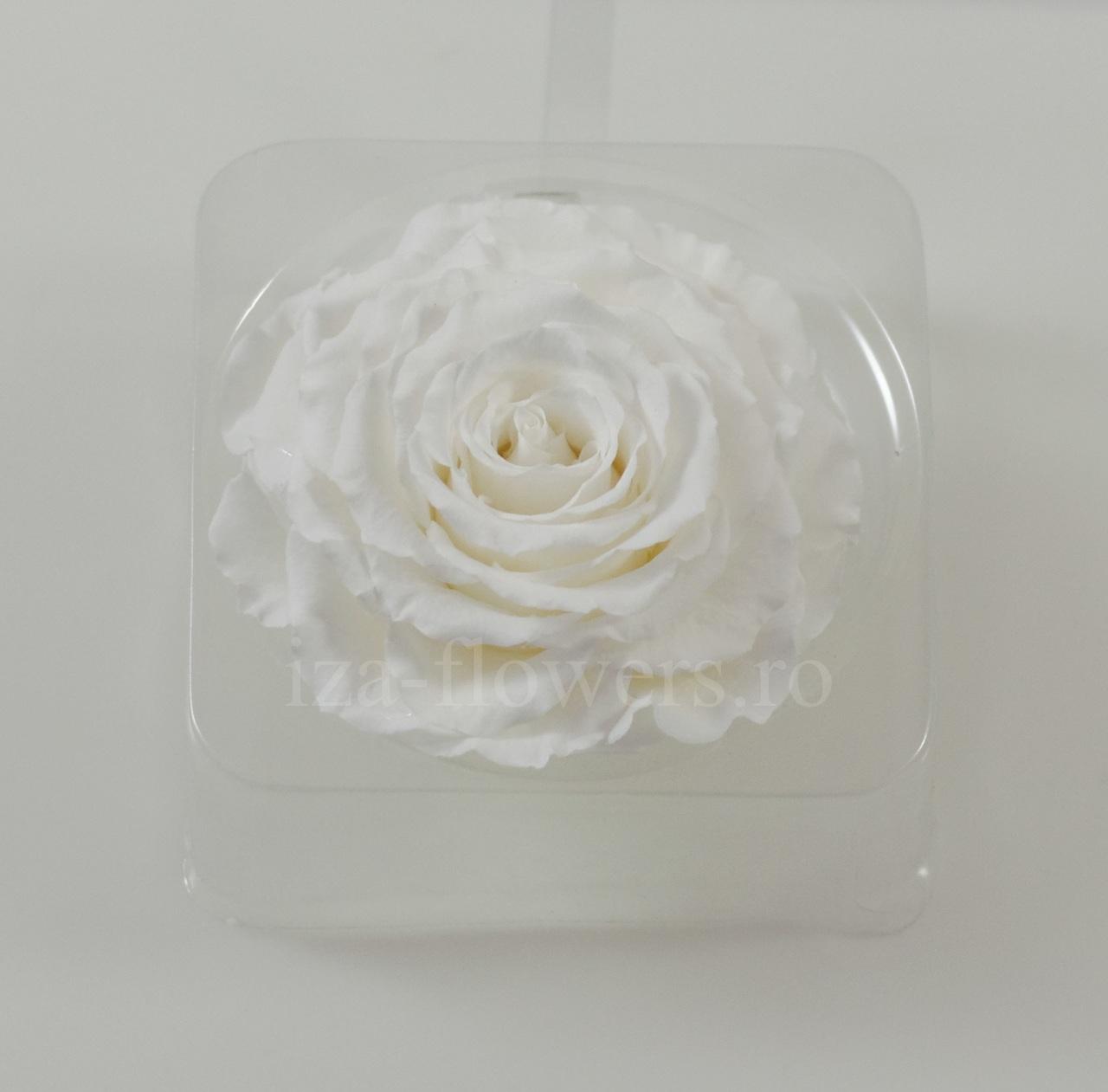 Cap trandafir criogenat Amorosa King Alb