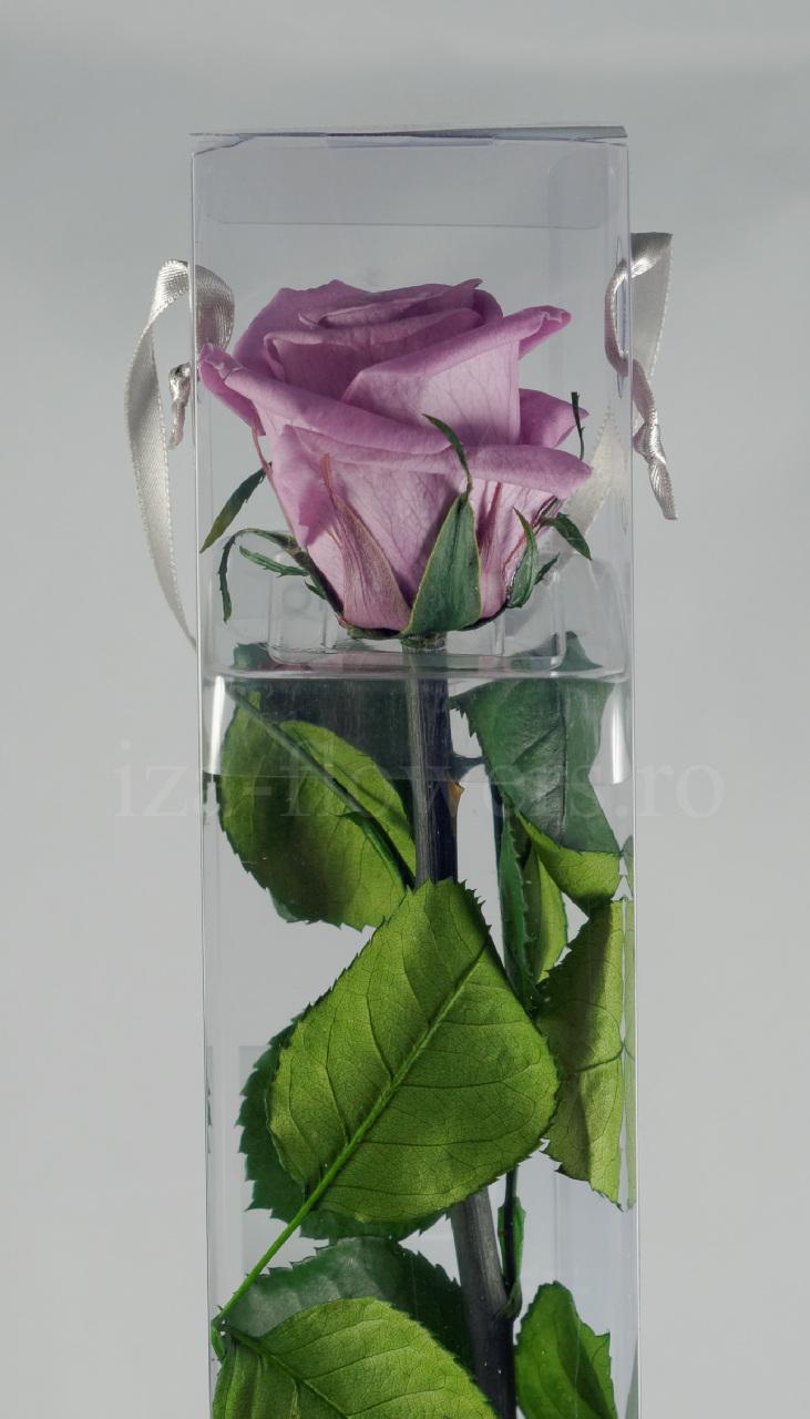 Trandafir criogenat Standard Mov deschis